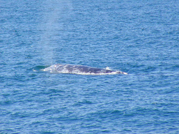 California Grey Whale