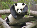 Giant Panda at National Zoo