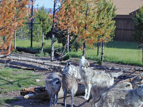 Wolves at the Grizzly Discovery Center