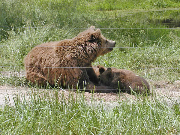 Bear cubs with mother