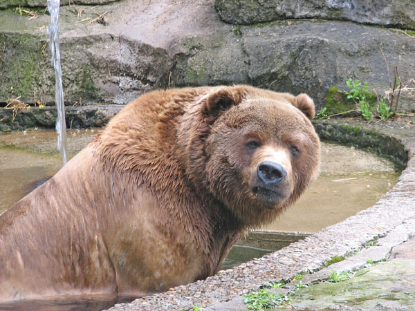 Kodiak Bear at Pittsburgh Zoo