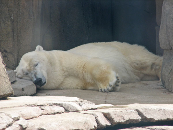 Polar Bear at Pittsburgh Zoo