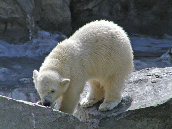 Kobe the Polar Bear